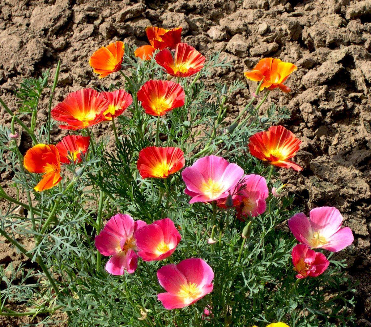 картинки цветка эшшольция дубравин