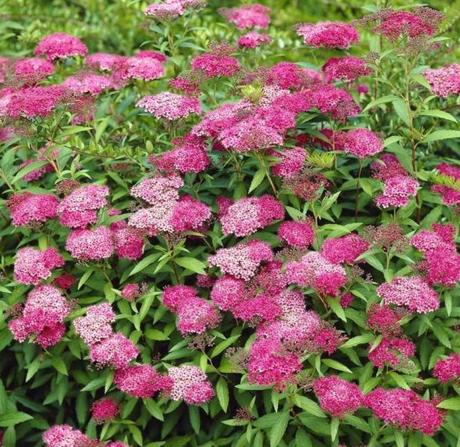 Фото цветов спирея